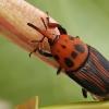 Raudonasis palminis straubliukas - Rhynchophorus ferrugineus, patelė | Fotografijos autorius : Gintautas Steiblys | © Macrogamta.lt | Šis tinklapis priklauso bendruomenei kuri domisi makro fotografija ir fotografuoja gyvąjį makro pasaulį.