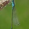 Elegantiškoji strėliukė - Ischnura elegans | Fotografijos autorius : Gintautas Steiblys | © Macrogamta.lt | Šis tinklapis priklauso bendruomenei kuri domisi makro fotografija ir fotografuoja gyvąjį makro pasaulį.