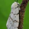 Neporinis verpikas - Lymantria dispar, patelė  | Fotografijos autorius : Gintautas Steiblys | © Macrogamta.lt | Šis tinklapis priklauso bendruomenei kuri domisi makro fotografija ir fotografuoja gyvąjį makro pasaulį.