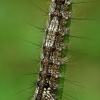 Vienuolis verpikas - Lymantria monacha, vikšras  | Fotografijos autorius : Gintautas Steiblys | © Macrogamta.lt | Šis tinklapis priklauso bendruomenei kuri domisi makro fotografija ir fotografuoja gyvąjį makro pasaulį.