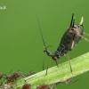 Didysis rausvasis amaras - Macrosiphum rosae  | Fotografijos autorius : Gintautas Steiblys | © Macrogamta.lt | Šis tinklapis priklauso bendruomenei kuri domisi makro fotografija ir fotografuoja gyvąjį makro pasaulį.