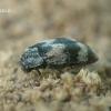 Kailiavabalis - Trogoderma angustum  | Fotografijos autorius : Gintautas Steiblys | © Macrogamta.lt | Šis tinklapis priklauso bendruomenei kuri domisi makro fotografija ir fotografuoja gyvąjį makro pasaulį.