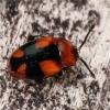 Kryžiuotasis pelėsiavabalis - Mycetina cruciata  | Fotografijos autorius : Gintautas Steiblys | © Macrogamta.lt | Šis tinklapis priklauso bendruomenei kuri domisi makro fotografija ir fotografuoja gyvąjį makro pasaulį.