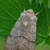 Trijuostis naktinukas - Charanyca trigrammica | Fotografijos autorius : Gintautas Steiblys | © Macrogamta.lt | Šis tinklapis priklauso bendruomenei kuri domisi makro fotografija ir fotografuoja gyvąjį makro pasaulį.