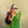 Vienaragis mitriavabalis - Notoxus monoceros | Fotografijos autorius : Gintautas Steiblys | © Macrogamta.lt | Šis tinklapis priklauso bendruomenei kuri domisi makro fotografija ir fotografuoja gyvąjį makro pasaulį.