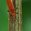 Drebulinis rusvūnas - Obrium cantharinum  | Fotografijos autorius : Gintautas Steiblys | © Macrogamta.lt | Šis tinklapis priklauso bendruomenei kuri domisi makro fotografija ir fotografuoja gyvąjį makro pasaulį.