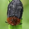 Raudonugaris maitvabalis - Oiceoptoma thoracicum  | Fotografijos autorius : Gintautas Steiblys | © Macrogamta.lt | Šis tinklapis priklauso bendruomenei kuri domisi makro fotografija ir fotografuoja gyvąjį makro pasaulį.