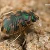 Kiaušiniškasis irklažygis - Omophron limbatum  | Fotografijos autorius : Gintautas Steiblys | © Macrogamta.lt | Šis tinklapis priklauso bendruomenei kuri domisi makro fotografija ir fotografuoja gyvąjį makro pasaulį.