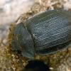 Didysis skydvabalis - Peltis grossa  | Fotografijos autorius : Gintautas Steiblys | © Macrogamta.lt | Šis tinklapis priklauso bendruomenei kuri domisi makro fotografija ir fotografuoja gyvąjį makro pasaulį.
