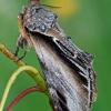 Tuopinis kuodis - Pheosia tremula | Fotografijos autorius : Gintautas Steiblys | © Macrogamta.lt | Šis tinklapis priklauso bendruomenei kuri domisi makro fotografija ir fotografuoja gyvąjį makro pasaulį.