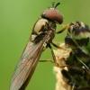 Žiedmusė - Melanostoma mellinum  | Fotografijos autorius : Gintautas Steiblys | © Macrogamta.lt | Šis tinklapis priklauso bendruomenei kuri domisi makro fotografija ir fotografuoja gyvąjį makro pasaulį.