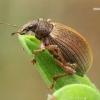 Smailiablauzdis lapinukas - Polydrusus mollis  | Fotografijos autorius : Gintautas Steiblys | © Macrogamta.lt | Šis tinklapis priklauso bendruomenei kuri domisi makro fotografija ir fotografuoja gyvąjį makro pasaulį.