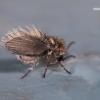 Kandinis uodelis - Psychoda sp.  | Fotografijos autorius : Gintautas Steiblys | © Macrogamta.lt | Šis tinklapis priklauso bendruomenei kuri domisi makro fotografija ir fotografuoja gyvąjį makro pasaulį.