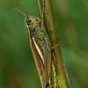 Viksvinis skėrys - Stethophyma grossum   Fotografijos autorius : Gintautas Steiblys   © Macrogamta.lt   Šis tinklapis priklauso bendruomenei kuri domisi makro fotografija ir fotografuoja gyvąjį makro pasaulį.