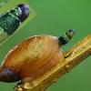 Didžioji gintarė - Succinea putris ir parazitas Leucochloridium paradoxum  | Fotografijos autorius : Gintautas Steiblys | © Macrogamta.lt | Šis tinklapis priklauso bendruomenei kuri domisi makro fotografija ir fotografuoja gyvąjį makro pasaulį.