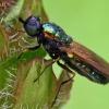 Plokščiamusė - Chloromyia formosa | Fotografijos autorius : Gintautas Steiblys | © Macrogamta.lt | Šis tinklapis priklauso bendruomenei kuri domisi makro fotografija ir fotografuoja gyvąjį makro pasaulį.