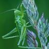 Žaliasis žiogas - Tettigonia viridissima, nimfa  | Fotografijos autorius : Gintautas Steiblys | © Macrogamta.lt | Šis tinklapis priklauso bendruomenei kuri domisi makro fotografija ir fotografuoja gyvąjį makro pasaulį.