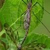 Ilgakojai uodai - Tipulidae | Fotografijos autorius : Gintautas Steiblys | © Macrogamta.lt | Šis tinklapis priklauso bendruomenei kuri domisi makro fotografija ir fotografuoja gyvąjį makro pasaulį.