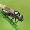 Žiedmusė - Melanogaster nuda  | Fotografijos autorius : Gintautas Steiblys | © Macrogamta.lt | Šis tinklapis priklauso bendruomenei kuri domisi makro fotografija ir fotografuoja gyvąjį makro pasaulį.