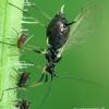 Didieji rausvieji amarai - Macrosiphum rosae  | Fotografijos autorius : Gintautas Steiblys | © Macrogamta.lt | Šis tinklapis priklauso bendruomenei kuri domisi makro fotografija ir fotografuoja gyvąjį makro pasaulį.