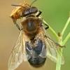 Naminė bitė - Apis mellifera, tranas | Fotografijos autorius : Gintautas Steiblys | © Macrogamta.lt | Šis tinklapis priklauso bendruomenei kuri domisi makro fotografija ir fotografuoja gyvąjį makro pasaulį.