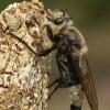 Kuprotoji plėšriamusė - Laphria gibbosa  | Fotografijos autorius : Gintautas Steiblys | © Macrogamta.lt | Šis tinklapis priklauso bendruomenei kuri domisi makro fotografija ir fotografuoja gyvąjį makro pasaulį.