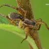 Šuolininkas - Pardosa agrestis/palustris  | Fotografijos autorius : Gintautas Steiblys | © Macrogamta.lt | Šis tinklapis priklauso bendruomenei kuri domisi makro fotografija ir fotografuoja gyvąjį makro pasaulį.