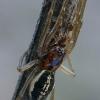Juostuotasis gūžokas - Pachygnatha clercki ♂  | Fotografijos autorius : Gintautas Steiblys | © Macrogamta.lt | Šis tinklapis priklauso bendruomenei kuri domisi makro fotografija ir fotografuoja gyvąjį makro pasaulį.