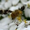 Margasparnė - Oxyna flavipennis  | Fotografijos autorius : Gintautas Steiblys | © Macrogamta.lt | Šis tinklapis priklauso bendruomenei kuri domisi makro fotografija ir fotografuoja gyvąjį makro pasaulį.