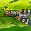 Juostasparnė musė - Ceroxys urticae  | Fotografijos autorius : Gintautas Steiblys | © Macrogamta.lt | Šis tinklapis priklauso bendruomenei kuri domisi makro fotografija ir fotografuoja gyvąjį makro pasaulį.