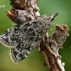 Pušyninė eudonija - Eudonia truncicolella  | Fotografijos autorius : Gintautas Steiblys | © Macrogamta.lt | Šis tinklapis priklauso bendruomenei kuri domisi makro fotografija ir fotografuoja gyvąjį makro pasaulį.