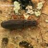 Šiaurinis plokščiavabalis - Dendrophagus crenatus  | Fotografijos autorius : Gintautas Steiblys | © Macrogamta.lt | Šis tinklapis priklauso bendruomenei kuri domisi makro fotografija ir fotografuoja gyvąjį makro pasaulį.