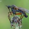Snapmusė - Empis opaca | Fotografijos autorius : Gintautas Steiblys | © Macrogamta.lt | Šis tinklapis priklauso bendruomenei kuri domisi makro fotografija ir fotografuoja gyvąjį makro pasaulį.