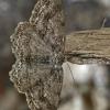 Mėlyninis žievėsprindis - Ectropis crepuscularia   Fotografijos autorius : Gintautas Steiblys   © Macrogamta.lt   Šis tinklapis priklauso bendruomenei kuri domisi makro fotografija ir fotografuoja gyvąjį makro pasaulį.