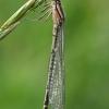 Mėlynoji strėliukė - Enallagma cyathigerum, patelė  | Fotografijos autorius : Gintautas Steiblys | © Macrogamta.lt | Šis tinklapis priklauso bendruomenei kuri domisi makro fotografija ir fotografuoja gyvąjį makro pasaulį.