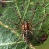 Agelena labyrinthica - Labirintinis piltuvininkas | Fotografijos autorius : Algirdas Vilkas | © Macrogamta.lt | Šis tinklapis priklauso bendruomenei kuri domisi makro fotografija ir fotografuoja gyvąjį makro pasaulį.
