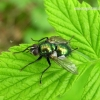 Gymnocheta viridis – Žalioji dygliamusė | Fotografijos autorius : Algirdas Vilkas | © Macrogamta.lt | Šis tinklapis priklauso bendruomenei kuri domisi makro fotografija ir fotografuoja gyvąjį makro pasaulį.