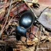 Carabus glabratus - Lygusis puošniažygis | Fotografijos autorius : Algirdas Vilkas | © Macrogamta.lt | Šis tinklapis priklauso bendruomenei kuri domisi makro fotografija ir fotografuoja gyvąjį makro pasaulį.