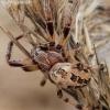 Nendrinis žnypliavoris - Larinioides cornutus | Fotografijos autorius : Algirdas Vilkas | © Macrogamta.lt | Šis tinklapis priklauso bendruomenei kuri domisi makro fotografija ir fotografuoja gyvąjį makro pasaulį.