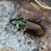 Palinis žvitražygis - Agonum muelleri | Fotografijos autorius : Algirdas Vilkas | © Macrogamta.lt | Šis tinklapis priklauso bendruomenei kuri domisi makro fotografija ir fotografuoja gyvąjį makro pasaulį.