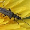 Laibavabalis - Oedemera virescens | Fotografijos autorius : Algirdas Vilkas | © Macrogamta.lt | Šis tinklapis priklauso bendruomenei kuri domisi makro fotografija ir fotografuoja gyvąjį makro pasaulį.