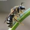 Vagabitė - Lasioglossum sp.  | Fotografijos autorius : Algirdas Vilkas | © Macrogamta.lt | Šis tinklapis priklauso bendruomenei kuri domisi makro fotografija ir fotografuoja gyvąjį makro pasaulį.