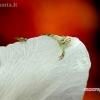 Geltonasis žiedvoris (Misumena vatia) ir javinė muselė (Chloropidae) | Fotografijos autorius : Alma Totorytė | © Macrogamta.lt | Šis tinklapis priklauso bendruomenei kuri domisi makro fotografija ir fotografuoja gyvąjį makro pasaulį.