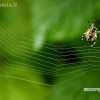 Kryžiuotis - Araneus sp. | Fotografijos autorius : Alma Totorytė | © Macrogamta.lt | Šis tinklapis priklauso bendruomenei kuri domisi makro fotografija ir fotografuoja gyvąjį makro pasaulį.