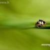 Šokliavoris - Salticidae | Fotografijos autorius : Alma Totorytė | © Macrogamta.lt | Šis tinklapis priklauso bendruomenei kuri domisi makro fotografija ir fotografuoja gyvąjį makro pasaulį.