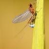 Ephemeroptera – Lašalas | Fotografijos autorius : Alma Totorytė | © Macrogamta.lt | Šis tinklapis priklauso bendruomenei kuri domisi makro fotografija ir fotografuoja gyvąjį makro pasaulį.