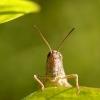 Acrididae - Skėriukas | Fotografijos autorius : Alma Totorytė | © Macrogamta.lt | Šis tinklapis priklauso bendruomenei kuri domisi makro fotografija ir fotografuoja gyvąjį makro pasaulį.