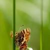 Araschnia levana - Mažasis dilgėlinukas | Fotografijos autorius : Alma Totorytė | © Macrogamta.lt | Šis tinklapis priklauso bendruomenei kuri domisi makro fotografija ir fotografuoja gyvąjį makro pasaulį.