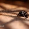 Evarcha arcuata - Vaivorykštinis musėgaudis | Fotografijos autorius : Alma Totorytė | © Macrogamta.lt | Šis tinklapis priklauso bendruomenei kuri domisi makro fotografija ir fotografuoja gyvąjį makro pasaulį.