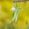 Tettigoniidae - Žiogas | Fotografijos autorius : Alma Totorytė | © Macrogamta.lt | Šis tinklapis priklauso bendruomenei kuri domisi makro fotografija ir fotografuoja gyvąjį makro pasaulį.